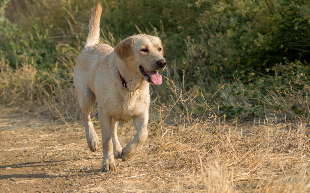 Treating Dogs with Cranial Cruciate Ligament Ruptures