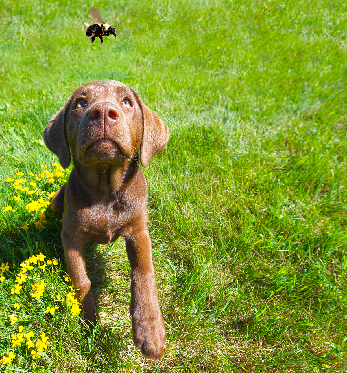 Dogs & Bees: How to Handle a Sting