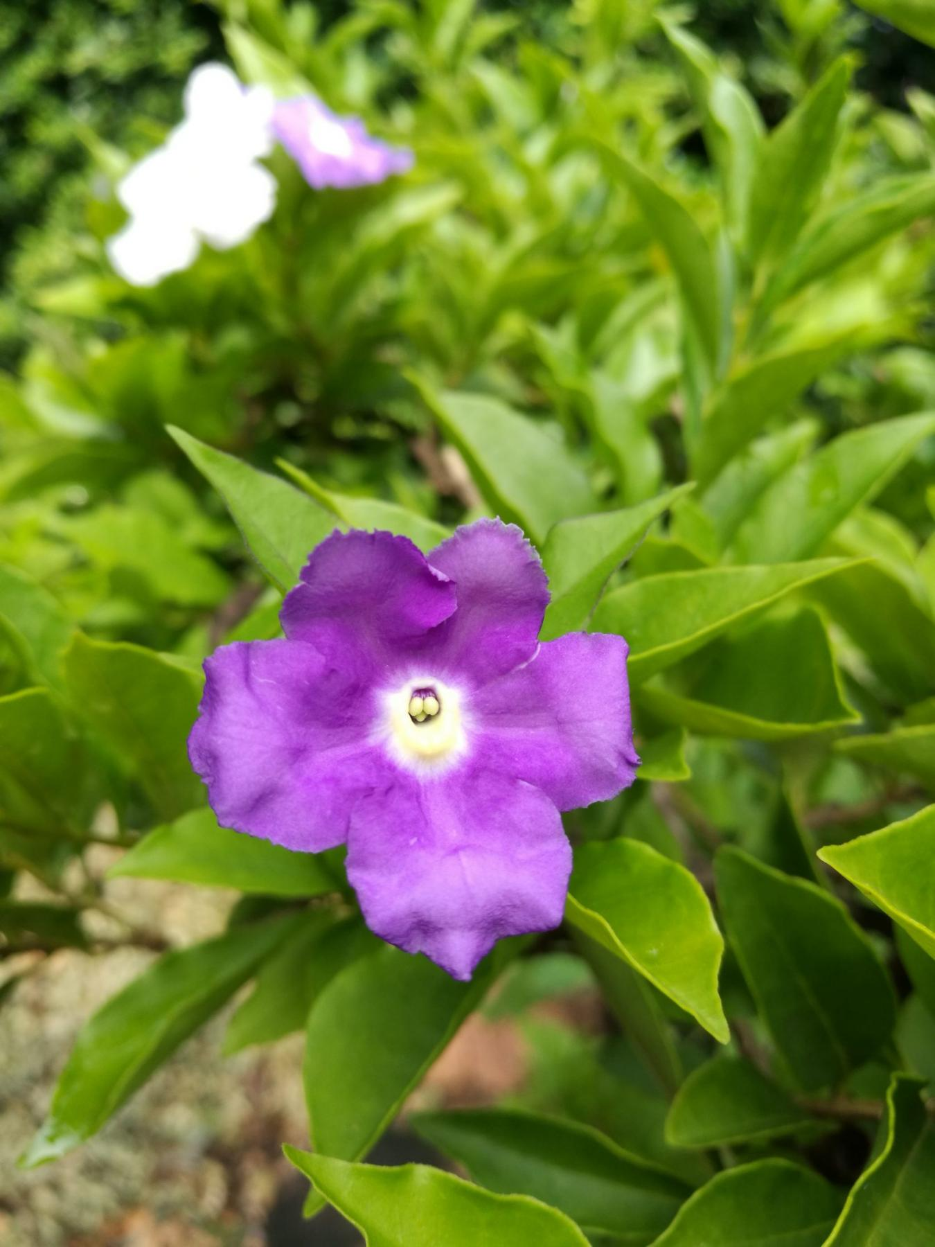 Toxic beauty: Brunfelsia sickens several Tri-Valley dogs