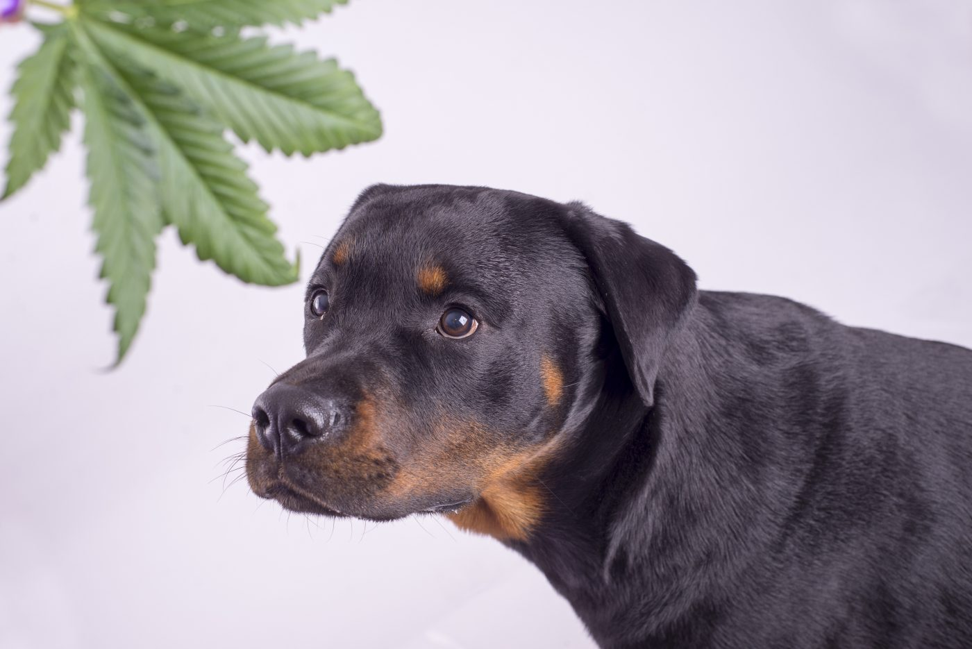 Veterinarians Seeing Many Types of Marijuana Exposure