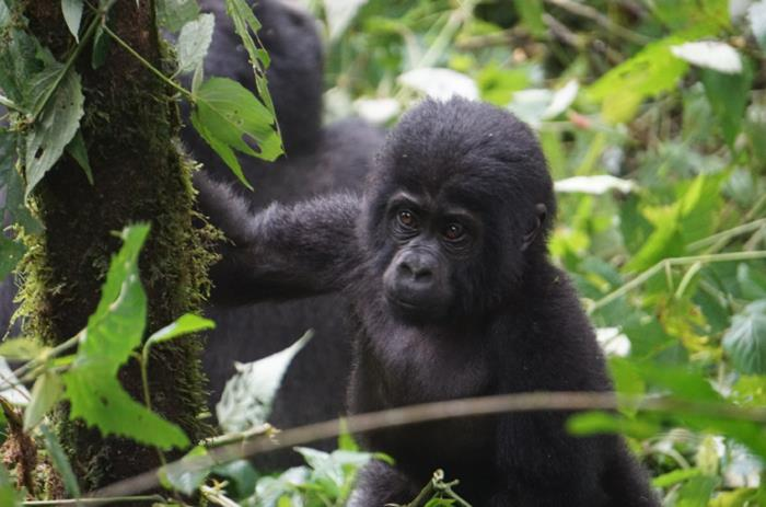 Journey to see Great Apes of Africa