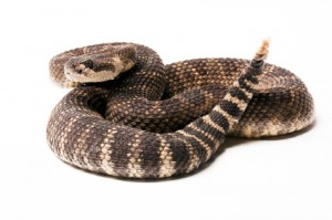 Antivenom Vs. The Rattlesnake Vaccine