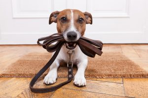 Dog with leash ready for a walk