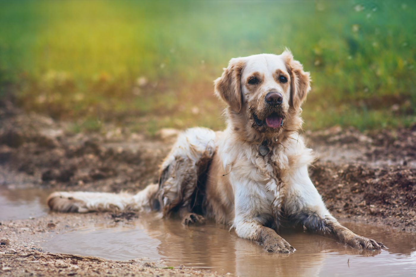 dangerous bacterial infection  leptospirosis  arrives with
