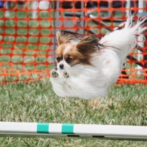 Papillon dog jumps in agility competition