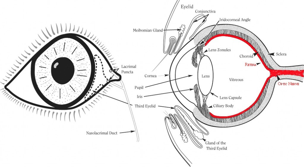 Eye Drawing-retina